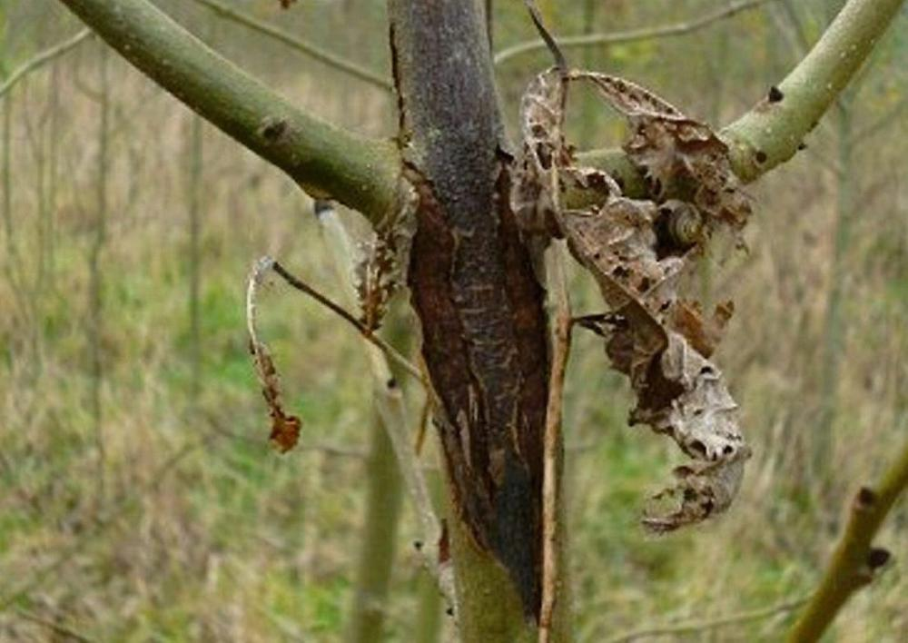 Wilting foliage and stem lesions are two of the signs of the dreaded chalara fraxinea, otherwise known as 'Ash Dieback'.
